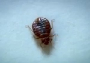 bed bug images